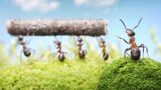 Schwarmintelligenz: Warum sich Ameisen nicht optimieren lassen - Foto: Antrey - Fotolia.com
